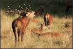 Red Deer Stag with Harem by nitsch