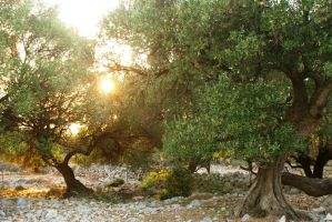 sun in olive trees by Her-Redness