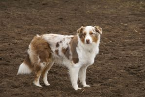 Australian Shepherd Dog by Hetti-Photograph