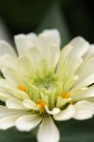 White zinnia 2 by greyrowan