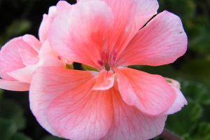 Pink Flower by NareeaShay