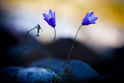 Harebell by secondclaw