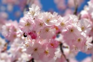 Blossoms are Beautyful. by Betuwefotograaf