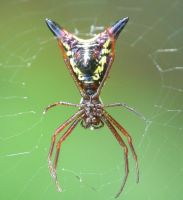 Arrowshaped Micrathena..,. by duggiehoo