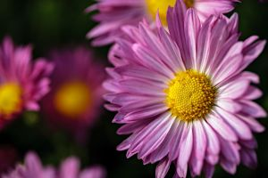 Chrysanthemum by dkwynia