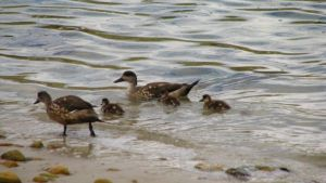 Patagonian Crested Ducks by Wildfire47