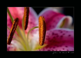 Lilly Of Light by kkart