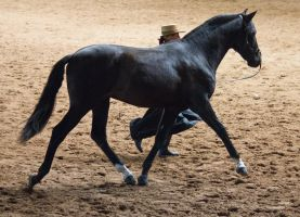 STOCK - 2014 Andalusian Nationals-78 by fillyrox