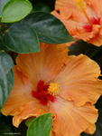 Orange Hibiscus Center by Mogrianne