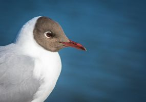 Black-headed Gull by Garraz