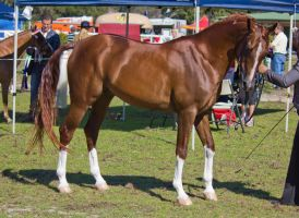 STOCK - Canungra Show 2012 003 by fillyrox