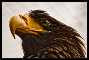 Eagle by Trivography