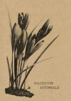 colchicum autumnale by JugMoon