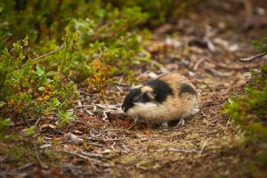 Norway Lemming by CarpathianWolf