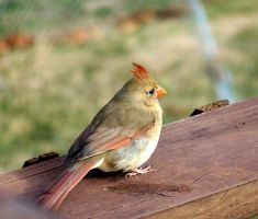Female Cardinal 101_1951 by Sharp-Stock