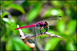 Dragonfly by Sjem20