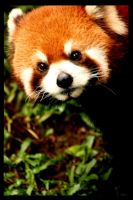 red panda by vaniaPOPcore