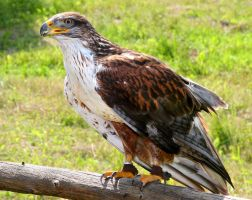 Ferruginous Hawk by kindlight