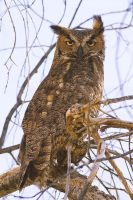 Great Horned Owl by PeterJCoskun