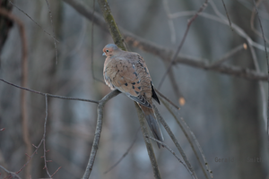 Mourning Dove 12 by Gerryanimator