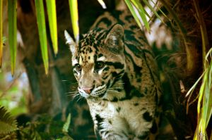 Clouded Leopard by AzureWindProductions