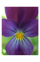 Little Pansy by Straynj3