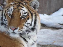 Siberian Tiger and Snow by AokitianWolf
