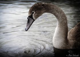 Lonely swan 5. by Phototubby