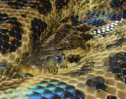 Rusalka - Yellow Anaconda Face by Cerulean-Serpent