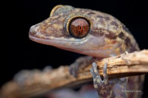 Gecko by melvynyeo