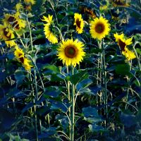 SunFlowers by SophiGrazh
