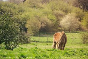 Dartmoor Pony by linneaphoto