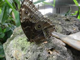 Blue Morpho by BlueMoon30