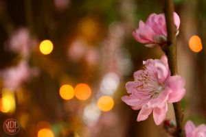 Peach blossom 3 by MyDyingDoom