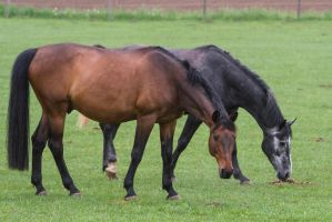 Warmbloods on the Pasture by LuDa-Stock
