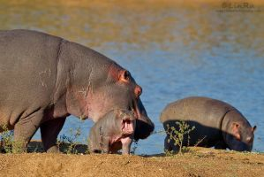 Fearsome Hippo Baby by LinRuPhotography