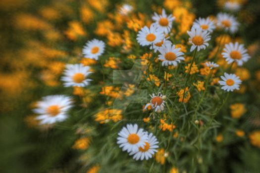 Wild Daisies by aarongcampbell