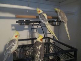My Tiels on their playground by evilweasel24