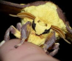 Imperial Moth - Eacles imperialis...Face by duggiehoo