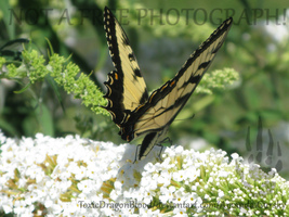 Swallow Tail Butterfly_01 by ToxicDragonBlood