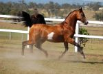 GE arab pinto trot to cannter side view by Chunga-Stock