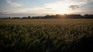 Wheat Panorama by daenuprobst