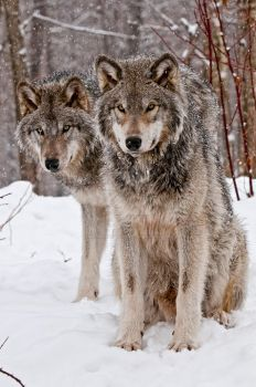 Wolf Pals by MichaelsPhotography