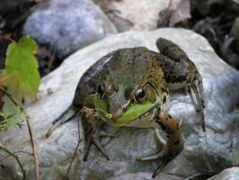 frog 2: stock by Lythre-does-photos