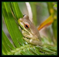 Frog by Canonnewbe