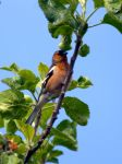 Chaffinch by Steve-FraserUK