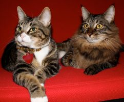 Brown Cats Red Couch 9 by edwardvb