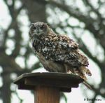 Uhu / Eagle Owl 4 by bluesgrass