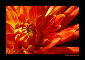 Dahlia by grugster