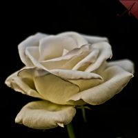 White Rose by malaugusto